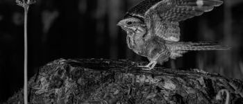 Sortie Nature : L'engoulevent, un étrange visiteur Aizenay